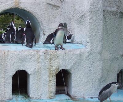 ペンギンとゴイサギ