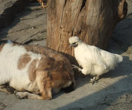 ヤギと烏骨鶏
