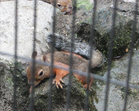 ニホンリス@上野Zoo