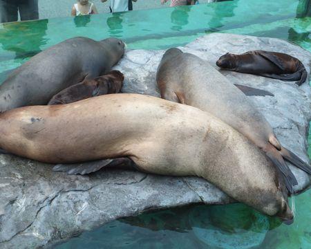 アシカ@上野Zoo