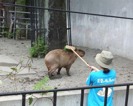 カピバラ@上野Zoo